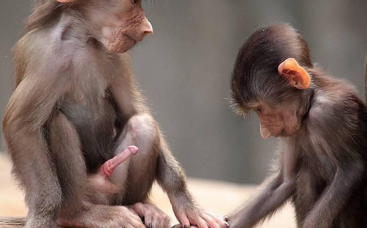 singe-erection-singe-triste-babilan