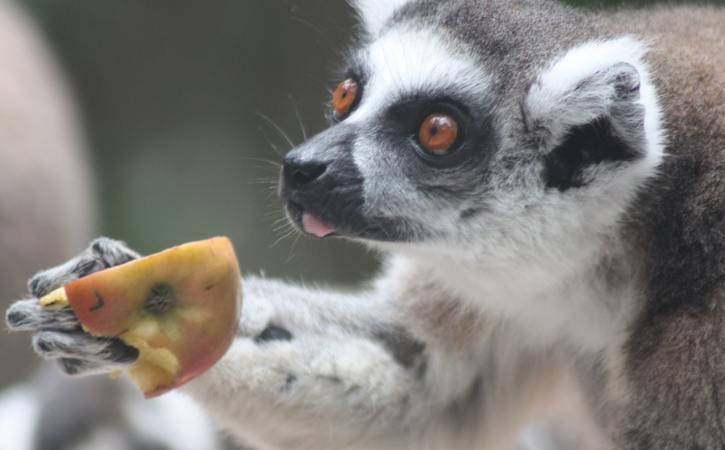 singe-offre-pomme-stipendier