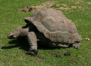 tortue-geante-immarcescible