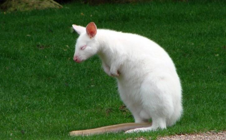 wallaby-albinos-endormi-anemie