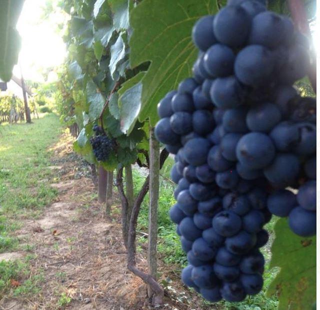 Fiatal borász – öreg receptúrával