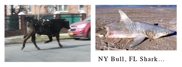 ny-bull-fl-shark