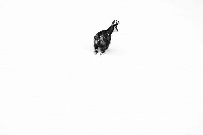 Berner Oberland, Gämse, Säugetiere, Winter, Alpentiere, Naturschutz, Tiere, Wildtiere, Schweiz, Kanton Bern, Berner Oberland, Jungfrau Region, Lauterbrunnental, Steinbock, Steinböcke, Mürren, Mürren Gämse, Schilthorn, Mürrenbahn, Birg , National Geographic, Fotograf, Storyteller, Naturschutz, Gämse, Gamskits, Alpentiere, Tiere der Alpen, freilebende Tiere, Tiere, Säugetiere, Berge, Eiger, Mönch, Jungfrau