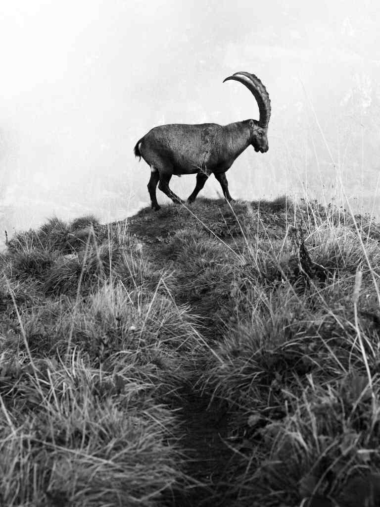 Jonas Schäfer Fotografie Spiez Berner Oberland Augstmatthorn Tiere Tierfotografie Wandbilder Steinböcke Steinbock