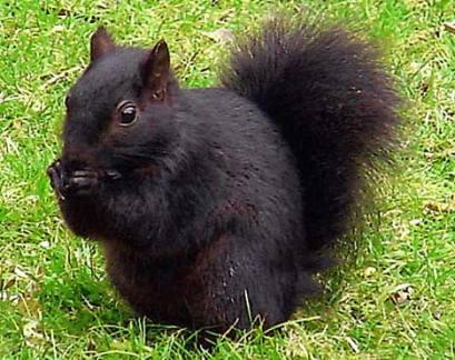 Black_Squirrel_2