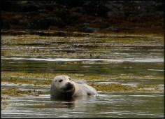 Grey seal, Loch na Keal