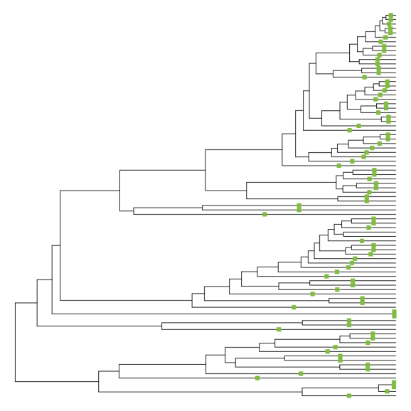 """Phylogeny of whales, forced to be ultrametric via the """"extend tips"""" method. 85 terminal branches have increased in length."""