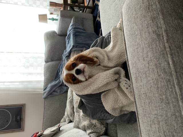 A Cavalier King Charles Spaniel on a grey couch wrapped up in a blanket.