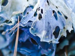 Cabbage and Pine Needle by St. Louis Photographer Jonathan Gayman