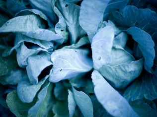 Cabbage One by St. Louis Photographer Jonathan Gayman