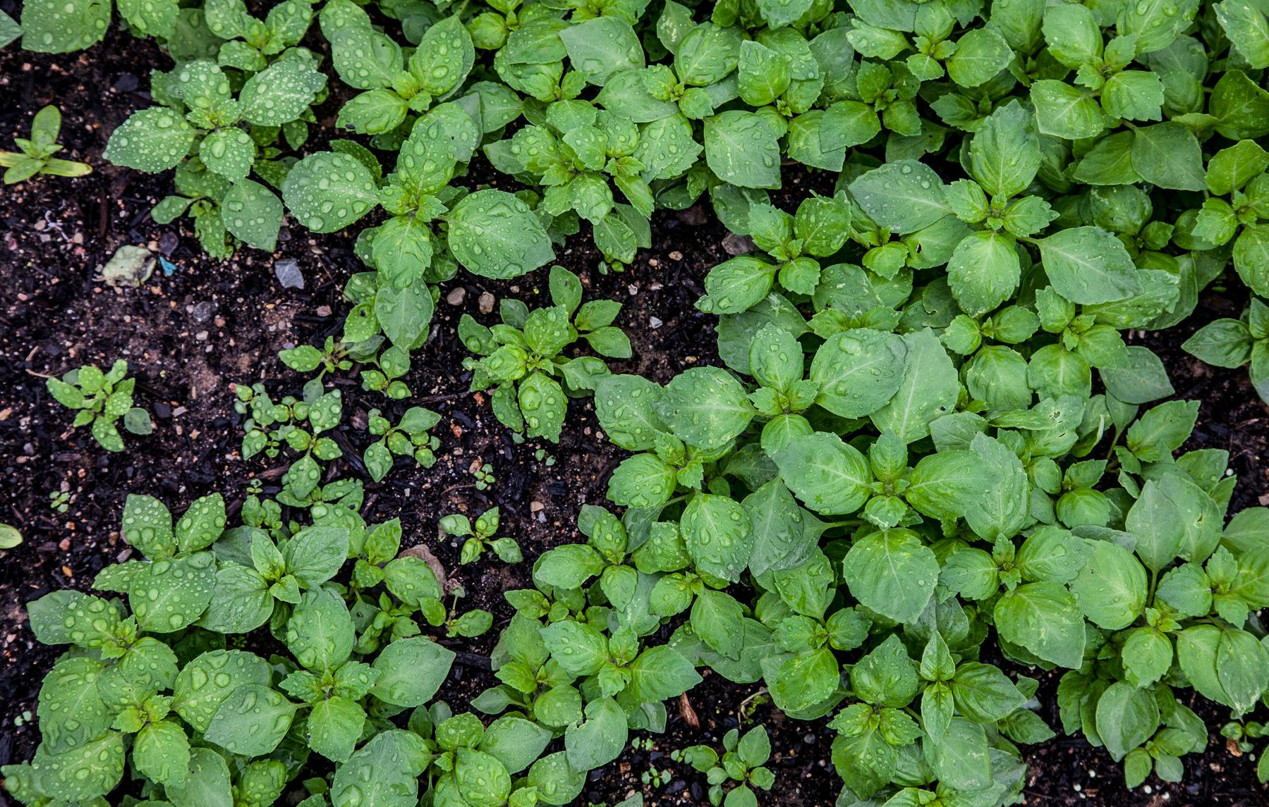 Food Roof Greens