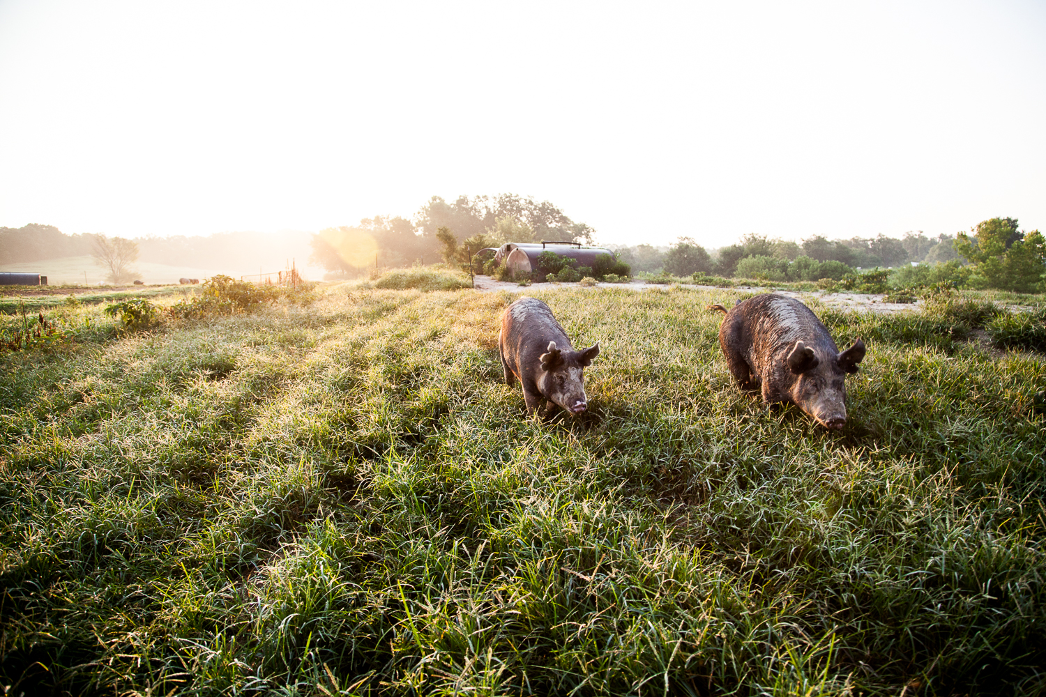 Hogs at Geisert Farm