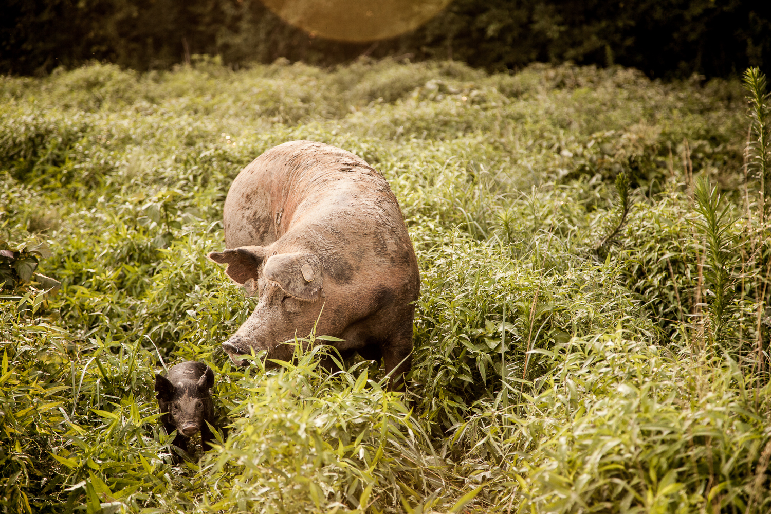 Mama and Piglet - Todd Geisert Farms