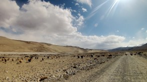 Livestock on the road just off the Pamir River