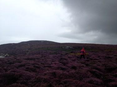 Purple Heather, Purple Davinia