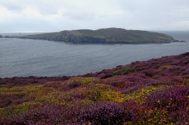 The flowers were amazing at the Calf of Man