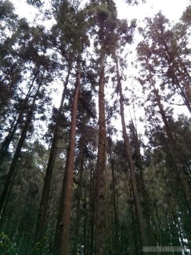 Alishan - tall trees