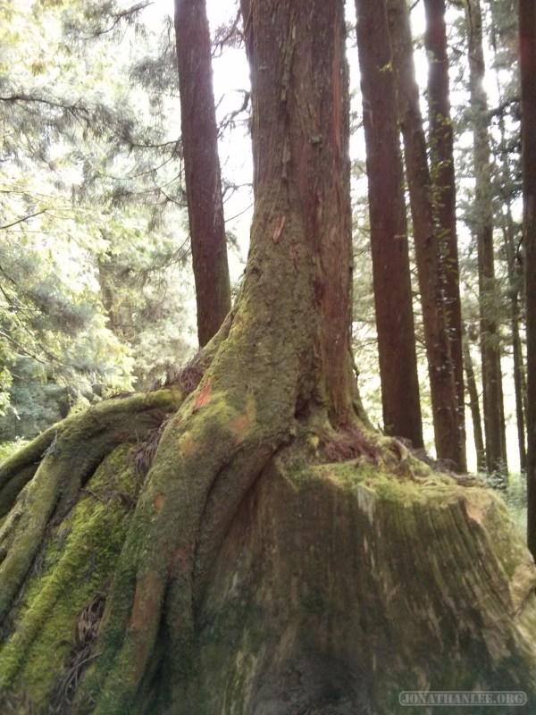Alishan - tree on trunk