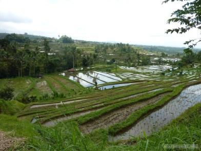 Balinese rice terraces - scenery 11