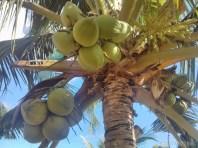 Bohol - Coco farm hostel bamboo skywalk coconuts