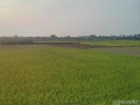 Hoi An - biking rice fields 2