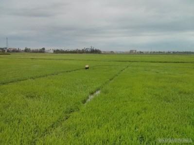Hoi An - biking rice fields 5