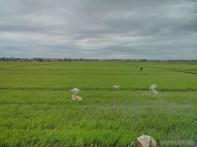 Hoi An - biking rice fields 7
