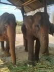 Pai - elephants 2