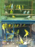 Yogyakarta - bird market 3