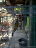 Yogyakarta - bird market 4