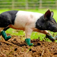 Cinders the Mysophobic Pig in Boots