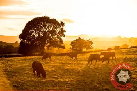 Cattle in a field near Oxenholme, yesterday evening, as the sun sets on the last day of Summer