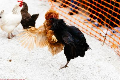Tensions run high, and any hen starting a fight will lead to a disqualification - Gandalf the hen (right) has a history of violence (seen attacking the Colonel)