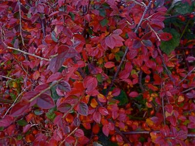 Cotoneaster turning red in the garden