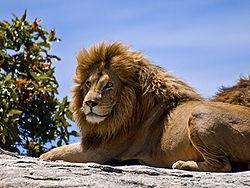 250px-Male_Lion_on_Rock