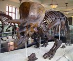 220px-Triceratops_AMNH_01