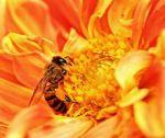 220px-Honey_Bee_takes_Nectar