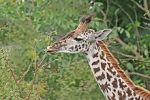220px-Giraffe_feeding,_Tanzania