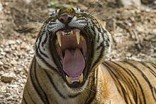 tiger-yawning