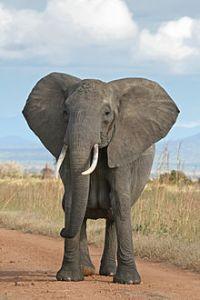 220px-African_Bush_Elephant