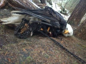 trapped-eagle-e1441350775692-930x699