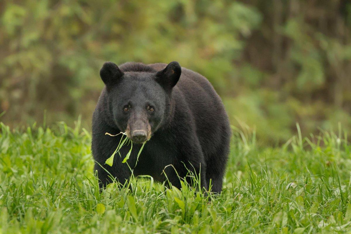 North Carolina Hunter Injured After Shooting Bear Out Of Tree