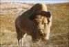 thumb_bison