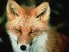 thumb_fox_red_fox