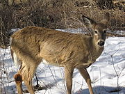 180px-White-tail_deer