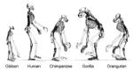 320px-Ape_skeletons
