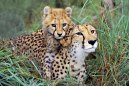 08_Cheetah_mother_and_baby