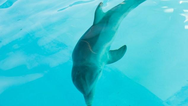 Rescued Bottlenose Dolphin at SeaWorld Orlando
