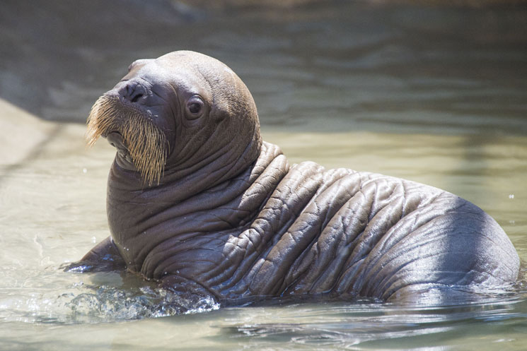 A baby walrus has been born for the first time at SeaWorld Orlando. See the photos of this mustached cutie and find out more details on the new baby walrus.