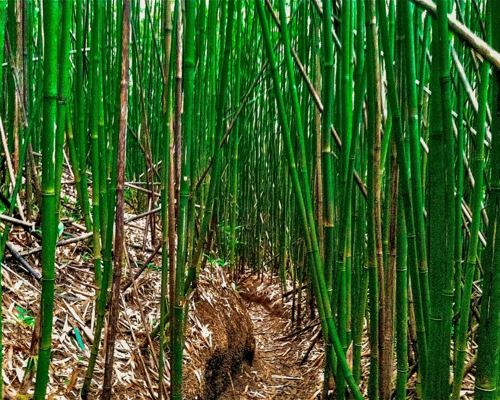 visit hawaii bamboo forest